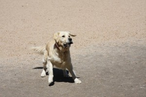 Jess-in-action (Dogs)